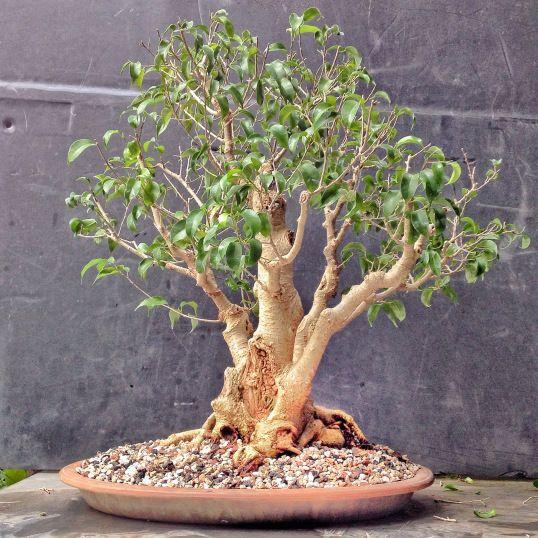fikus bendžamin bonsai