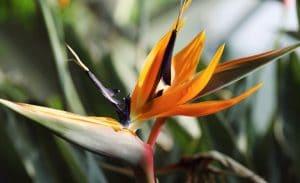 strelicija rajska ptica