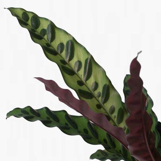 Kalatea lancifolia