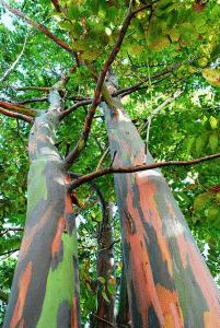 drvo eukaliptusa