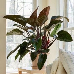 filadendron vazdusno korenje