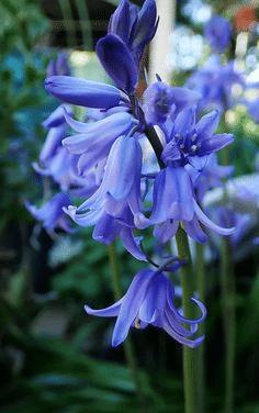 plavi zumbul