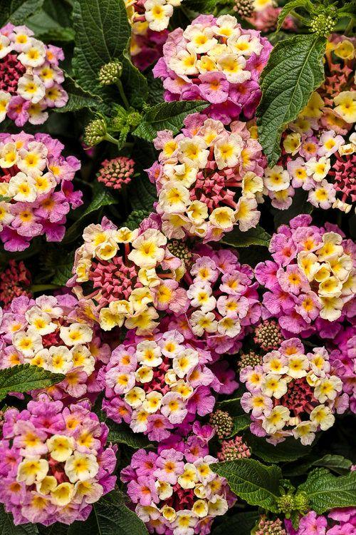 cvet lantane