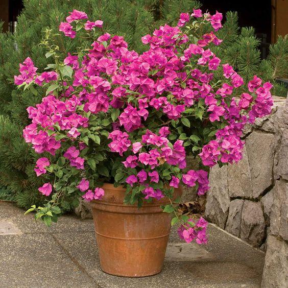 roze bugenvilija u saksiji